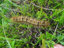 The Oak Eggar larva again. Index finger is deliberately left in photo for scale!