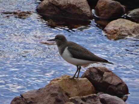 Another common sandpiper