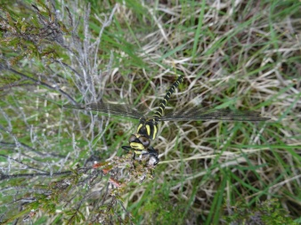 Golden Ringed Dragonfly (Cordulegaster boltonii)... it was cold. It wasn't moving much!
