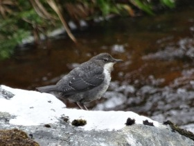 An immature Dipper (Cinclus cinclus). Pretty obvious from the way it was bobbing up and down!